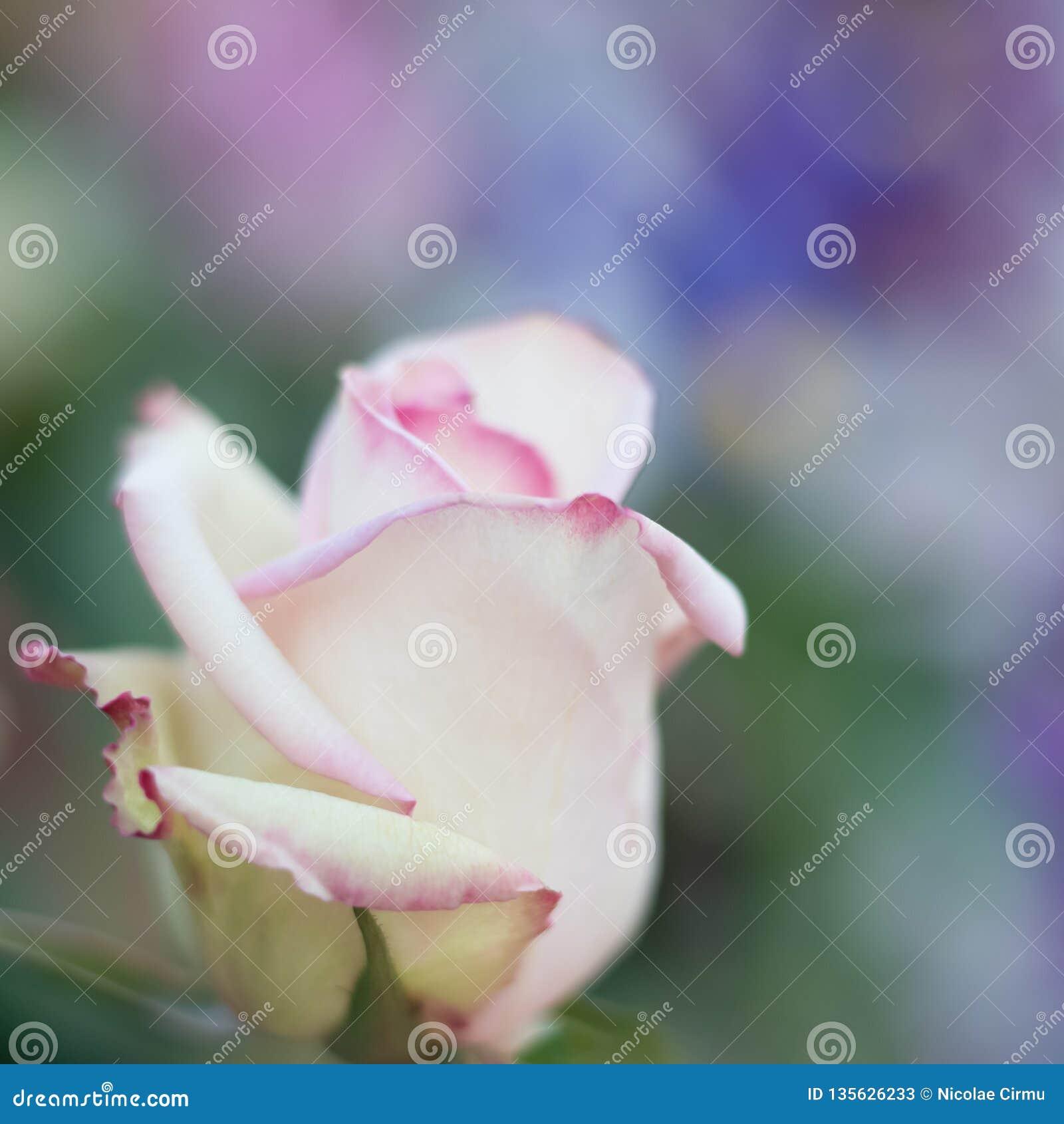 O branco aumentou com listras cor-de-rosa