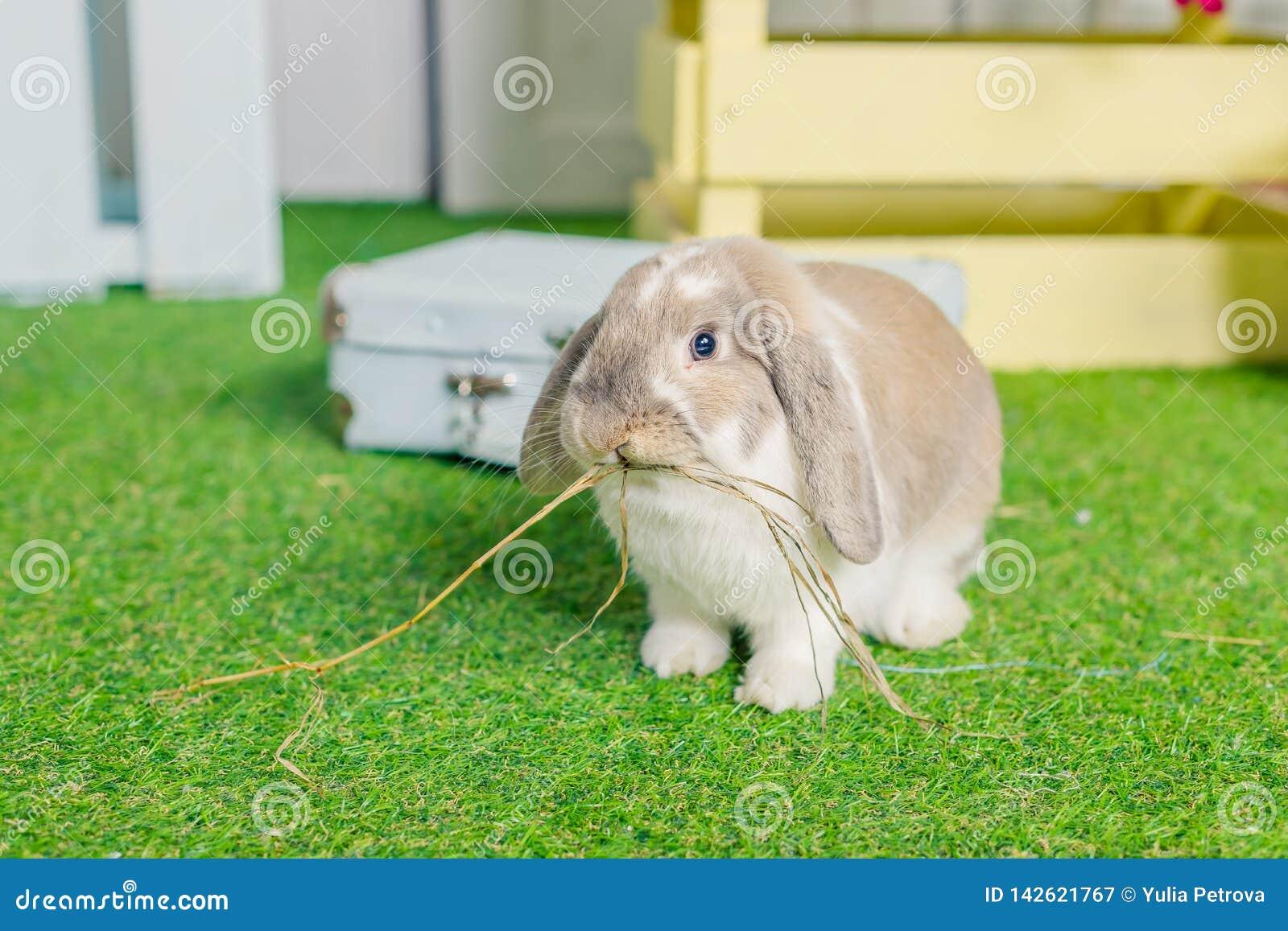 O branco macio pequeno bonito poda coelho de coelho orelhudo que senta-se na grama simbólico da Páscoa e da estação de mola Mola