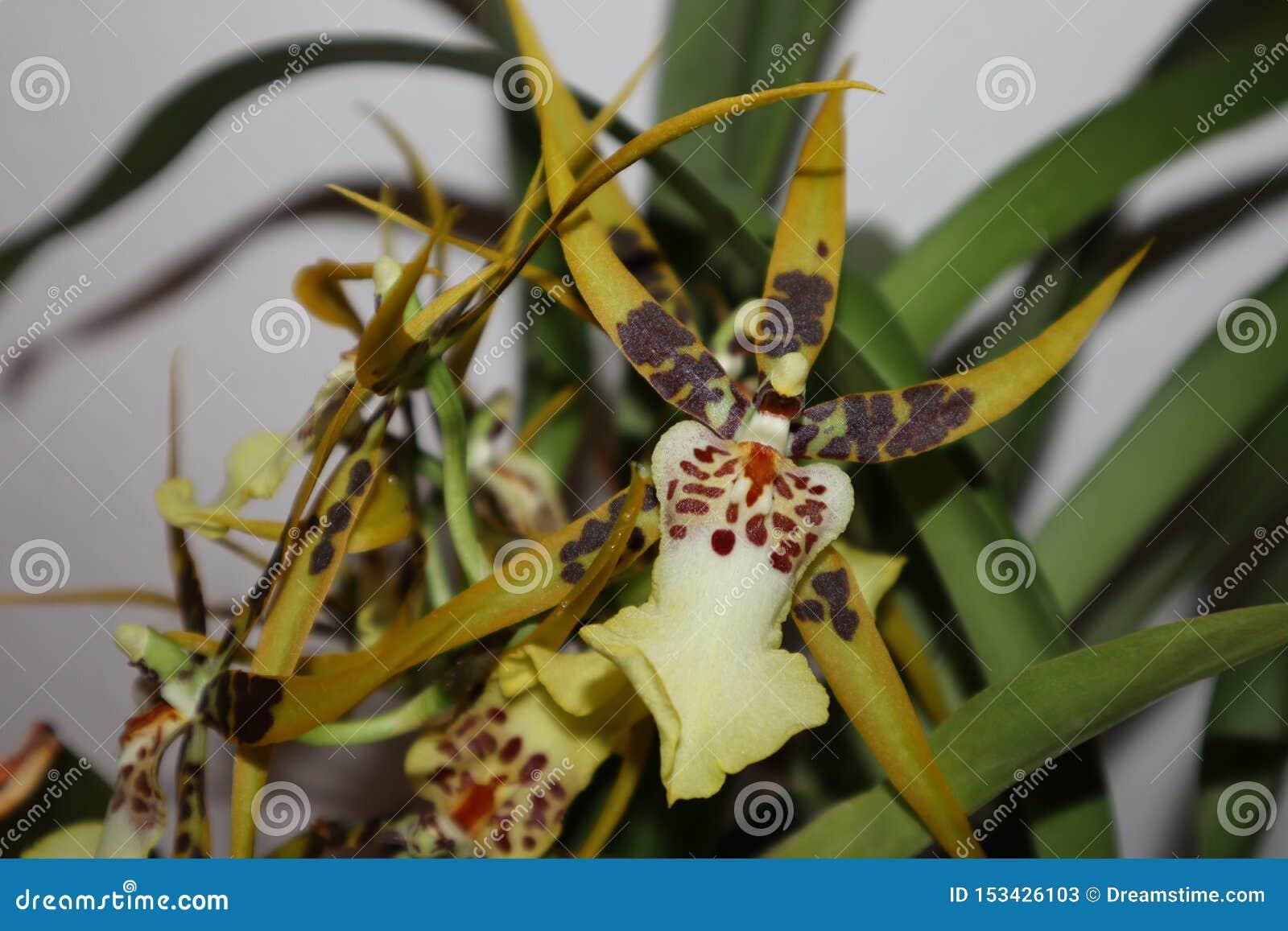 O Brassia de florescência da orquídea, colorido amarelo, branco e marrom