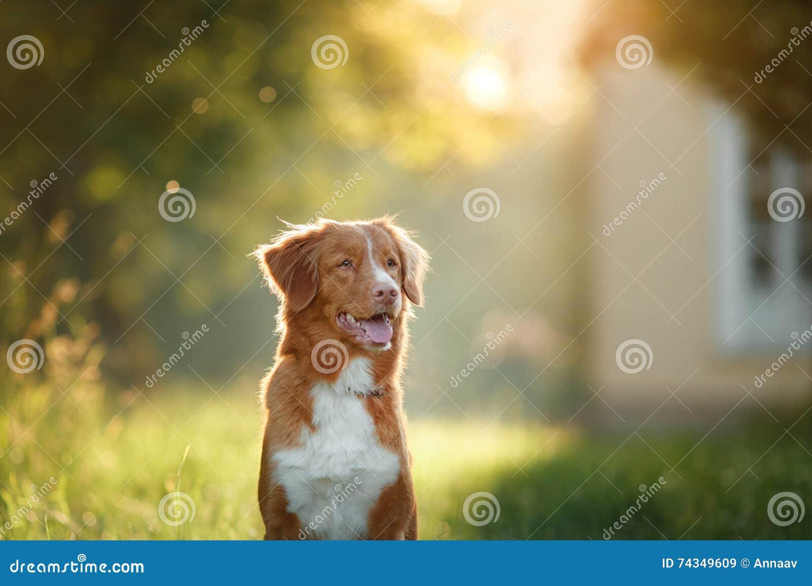 O cão anda na natureza, verdes, flores Nova Scotia Duck Tolling Retriever