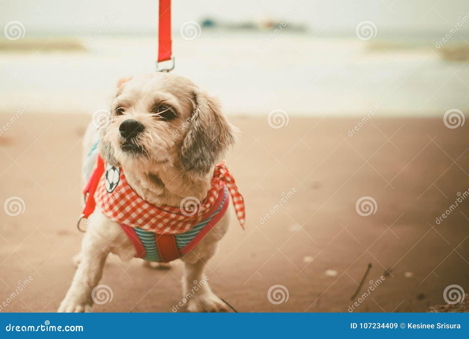 O cão branco do tzu de Shih do cabelo curto com cutely veste-se e a trela vermelha na praia
