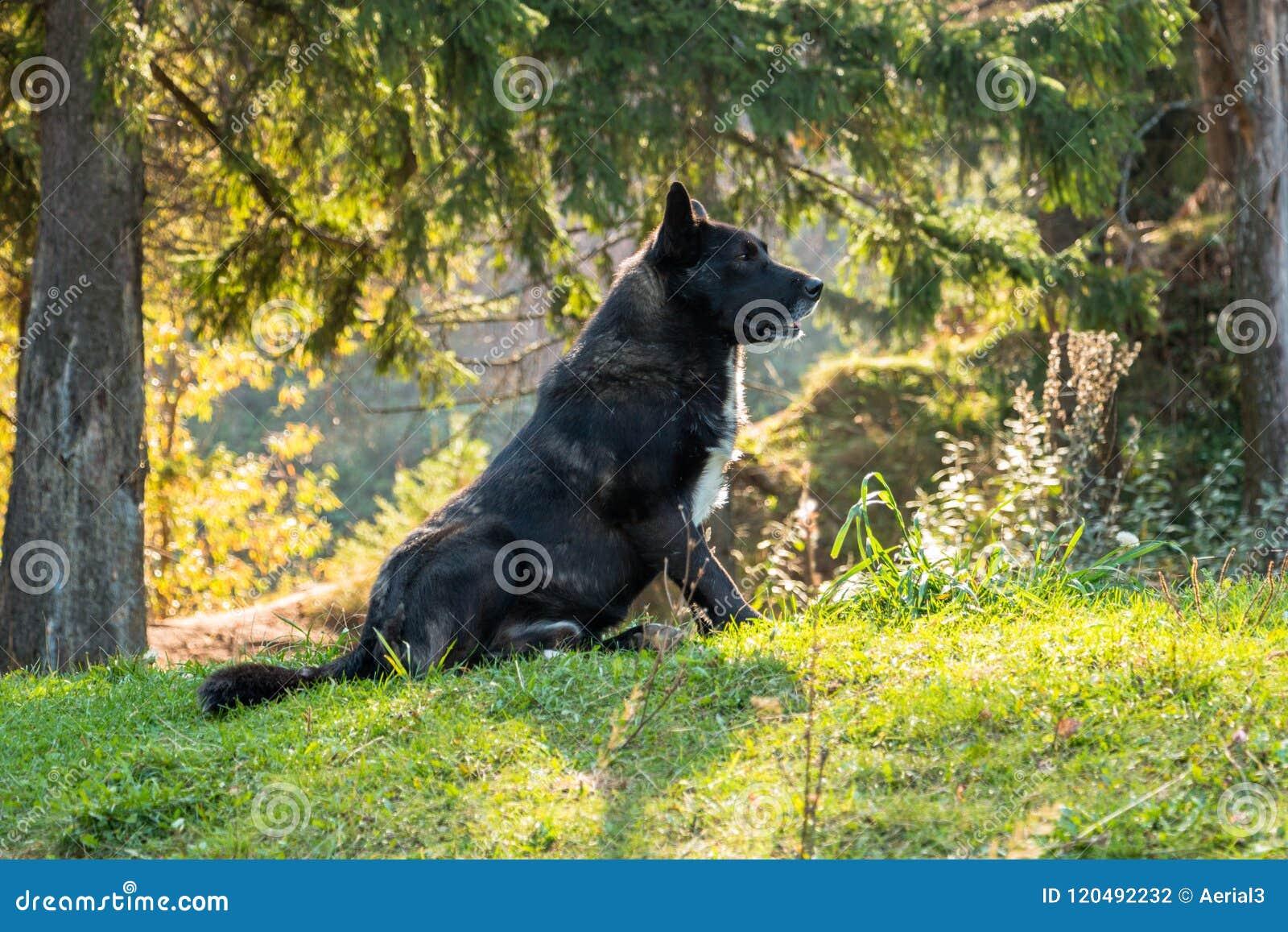 O cão caçador de lobos senta-se nas madeiras sob o abeto vermelho