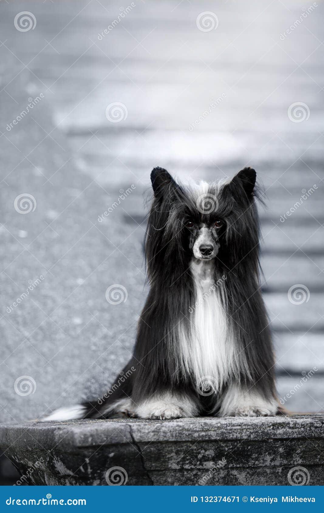 O cão com crista chinês está na terra escadas brancas no fundo