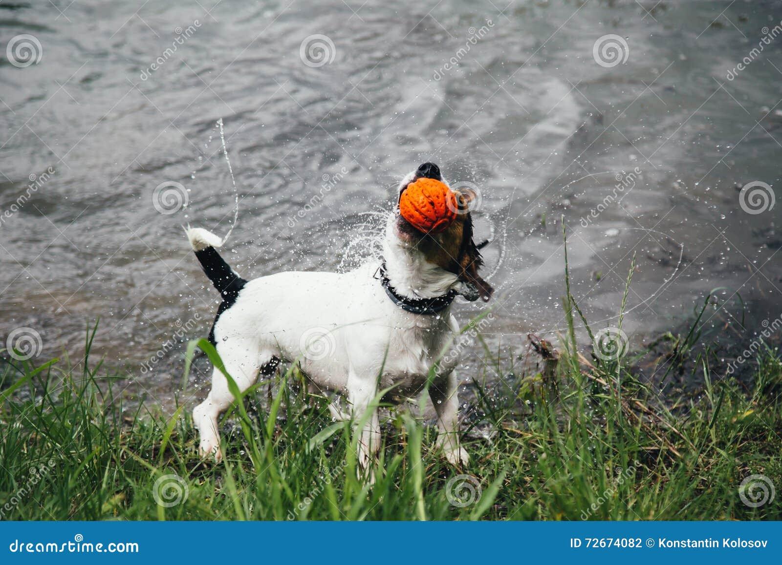 O cão com uma bola em sua boca agita fora a água