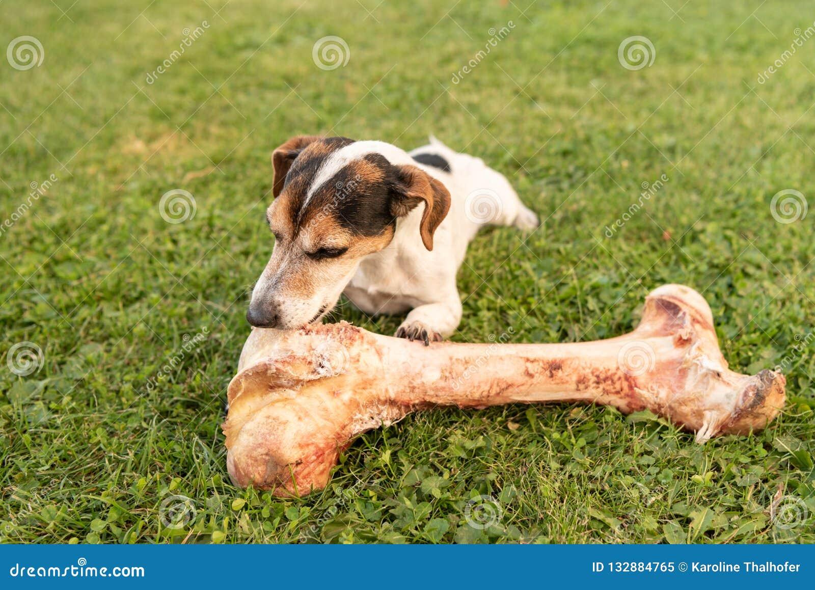 O cão come um osso grande