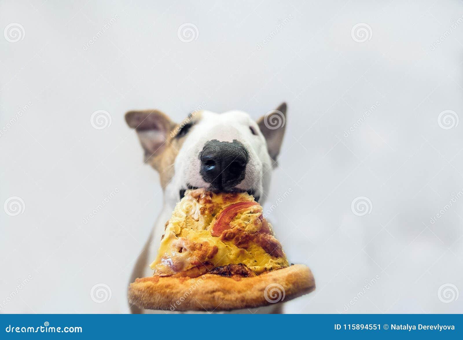O cão come uma pizza suculenta saboroso e olha de sobrancelhas franzidas bastante