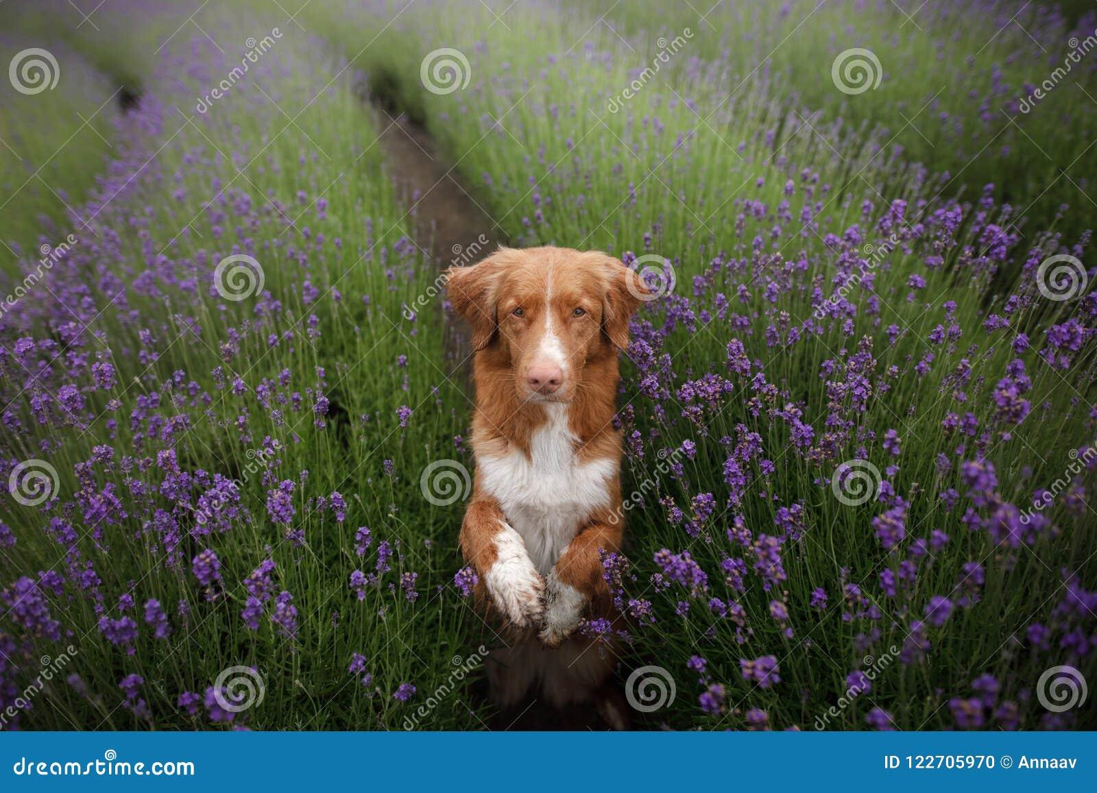 O cão dá a pata Animal de estimação nas cores da alfazema Imagem de cima de Face engraçada