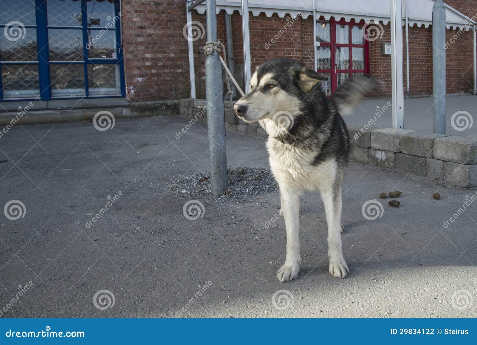 Cão de puxar trenós do Alasca