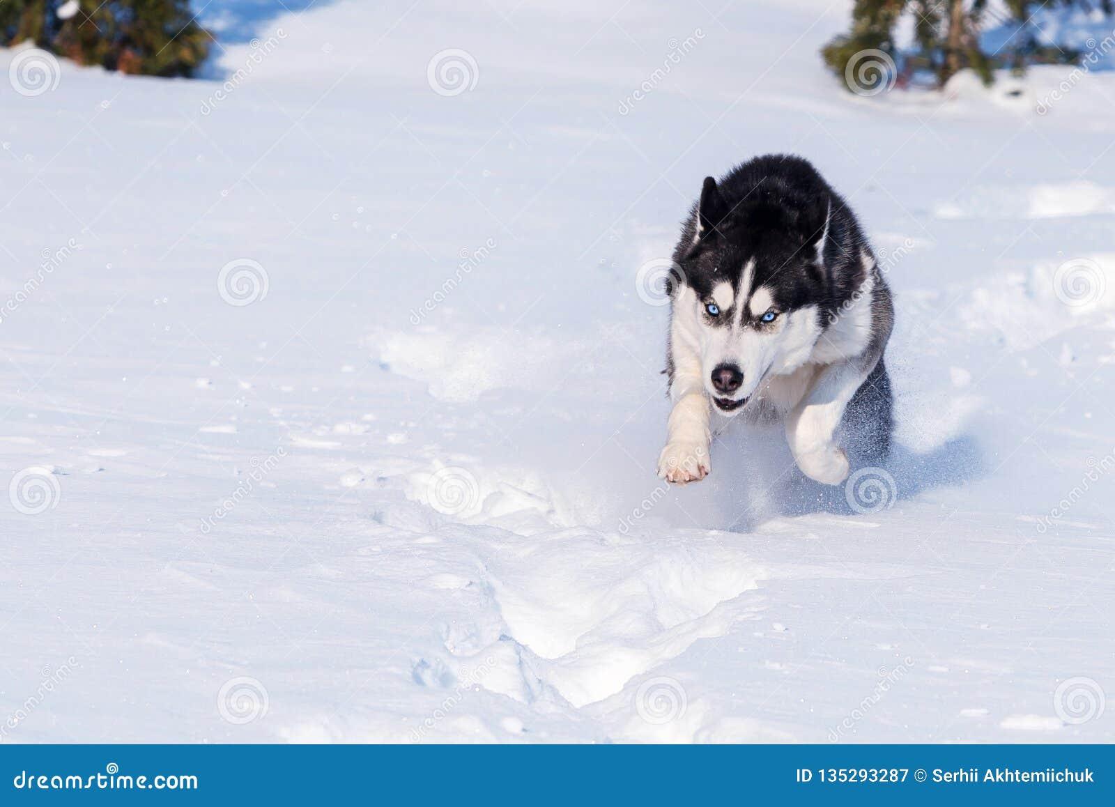 O cão de puxar trenós Siberian conquista montes de neve