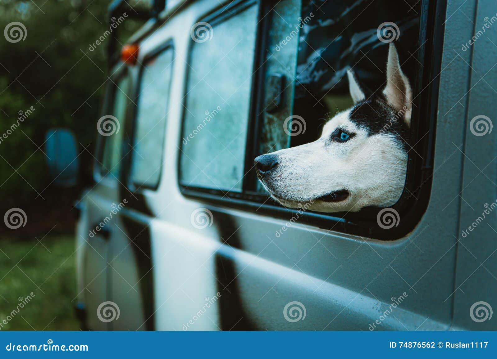 O cão de puxar trenós triste do cão olha fora da janela ao sentar-se no carro
