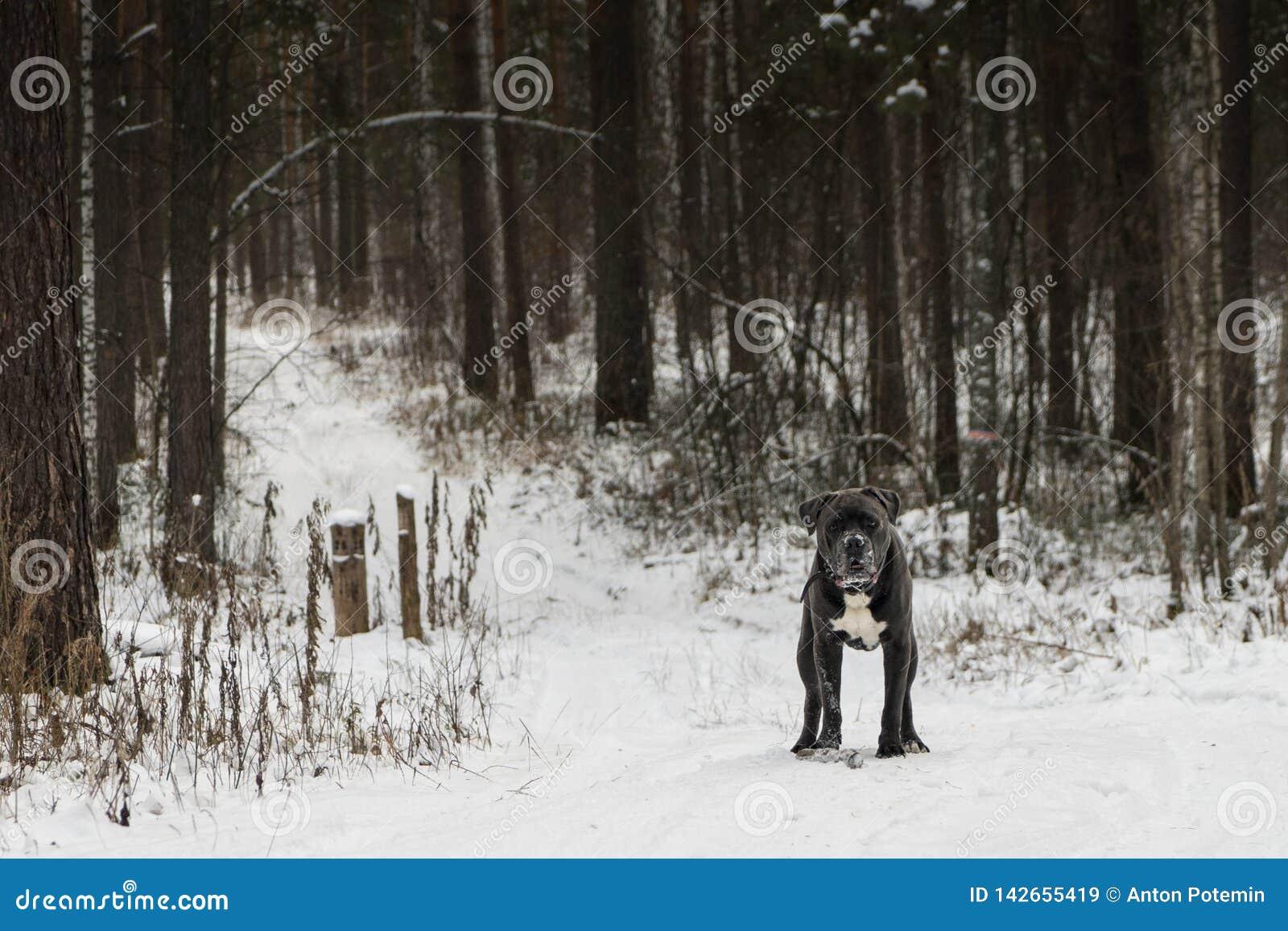 O cão do corso do bastão está olhando para a frente na floresta do inverno