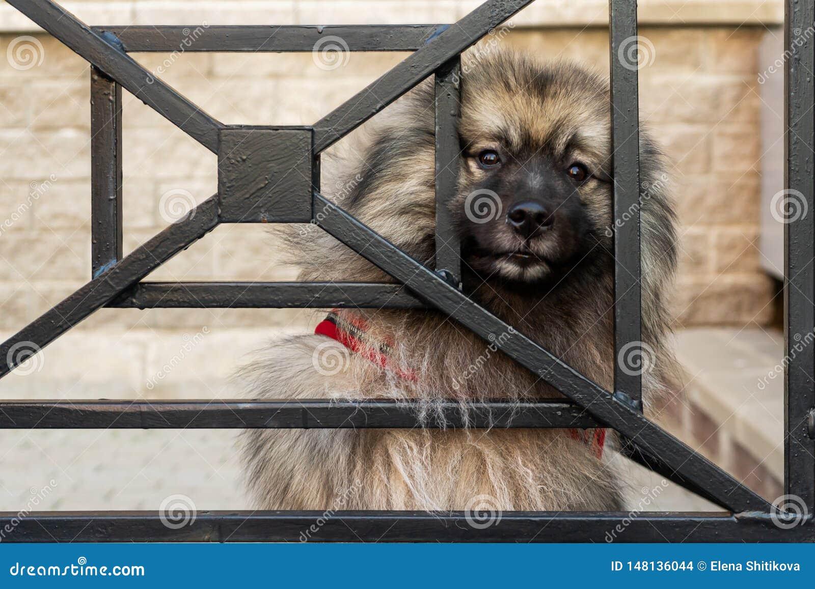 O cão do Spitz olha através das barras com os olhos espertos, tristes