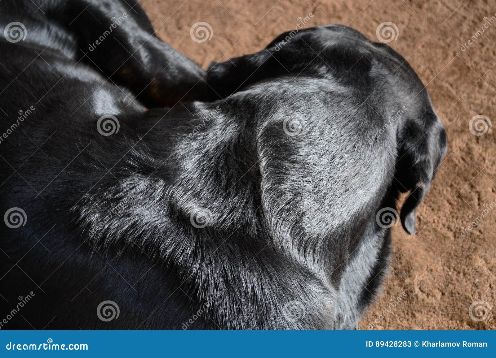 O cão dorme no tapete