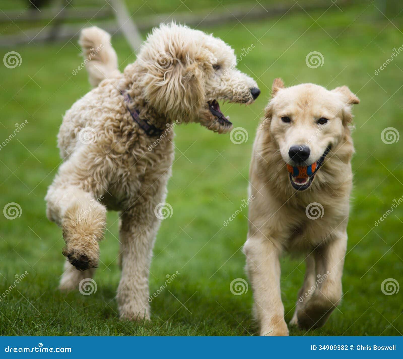 O cão dourado feliz de Retreiver com a caniche que joga o esforço persegue animais de estimação