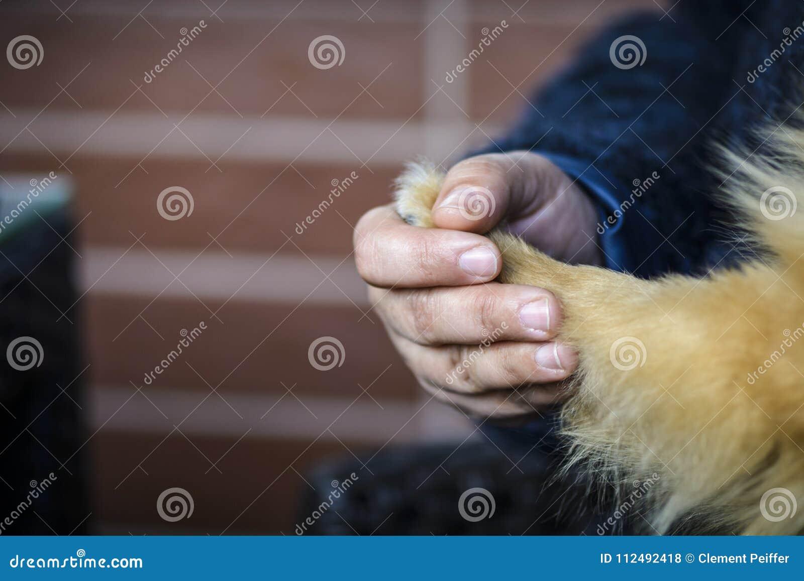 O cão e o ser humano estão guardando as mãos cutely