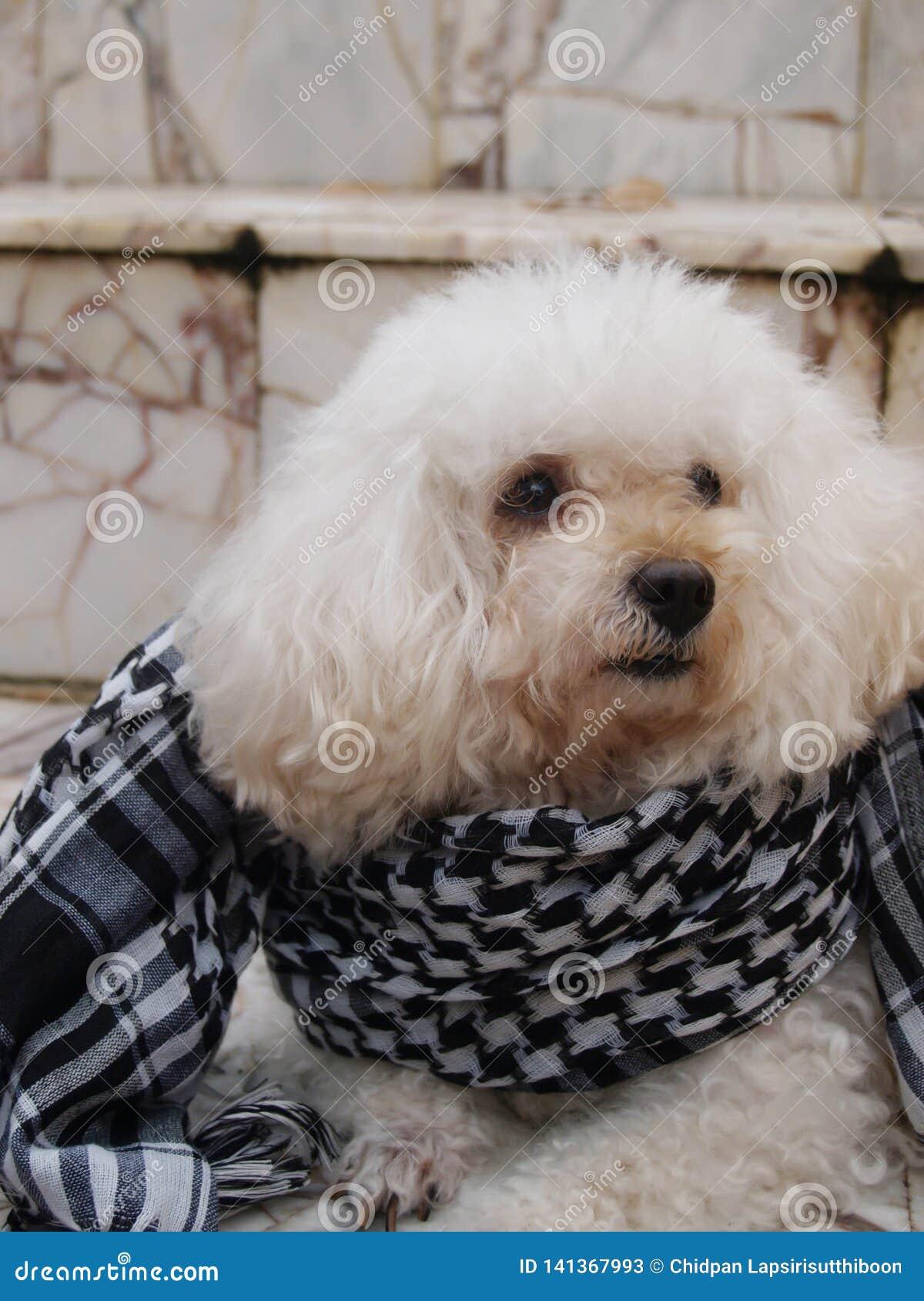 O cão pôs sobre um lenço sobre um assoalho do granito