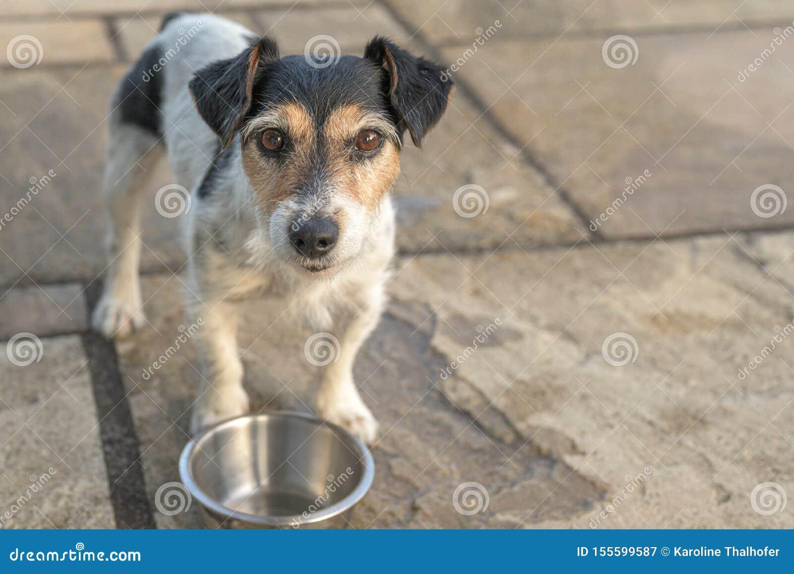 O cão pequeno bonito está estando na frente de uma bacia vazia e é sedento Jack Russell Terrier 10 anos velho