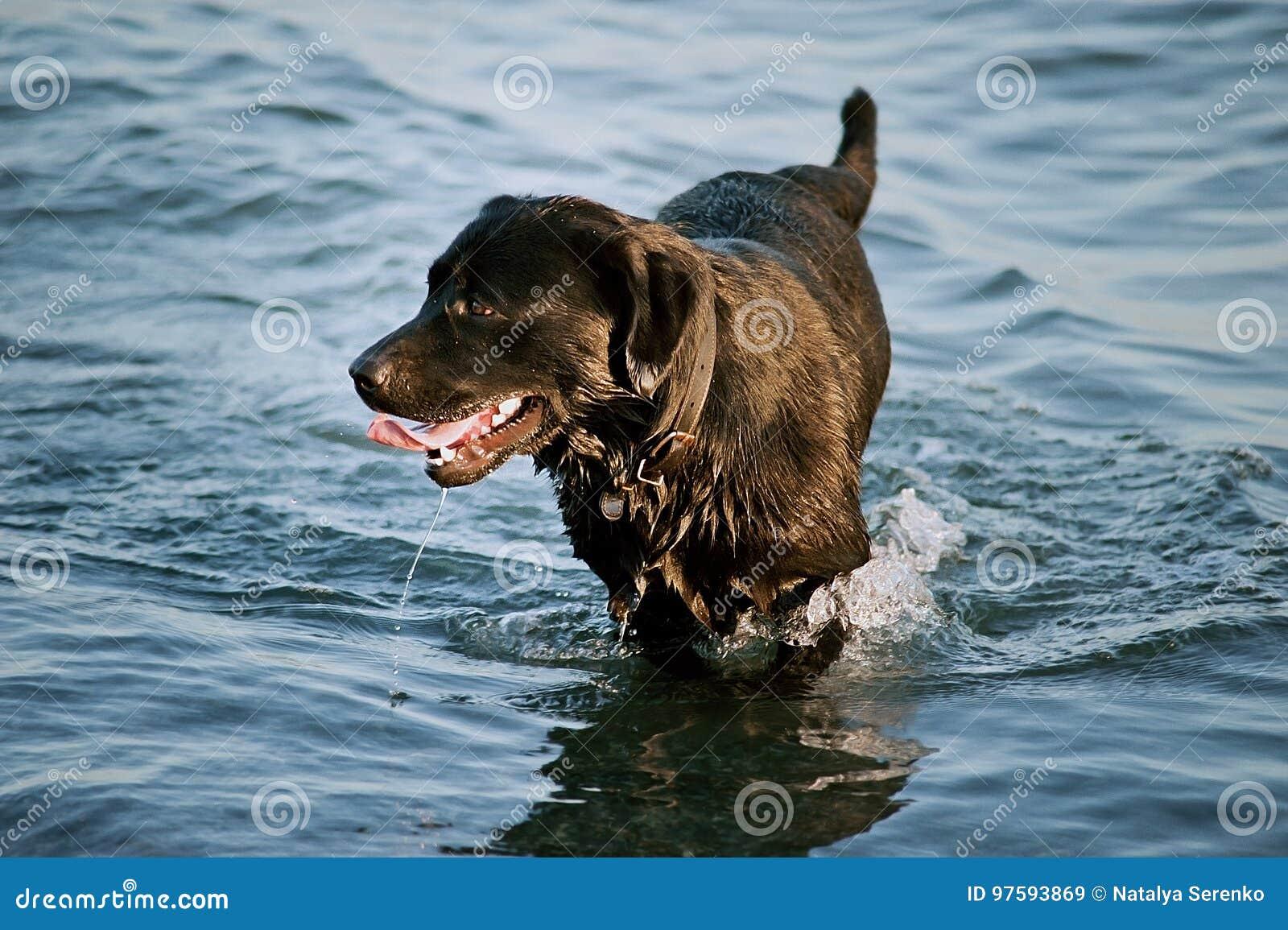 O cão preto grande é banhado na água o cão do golden retriever de Labrador corre na água no mar