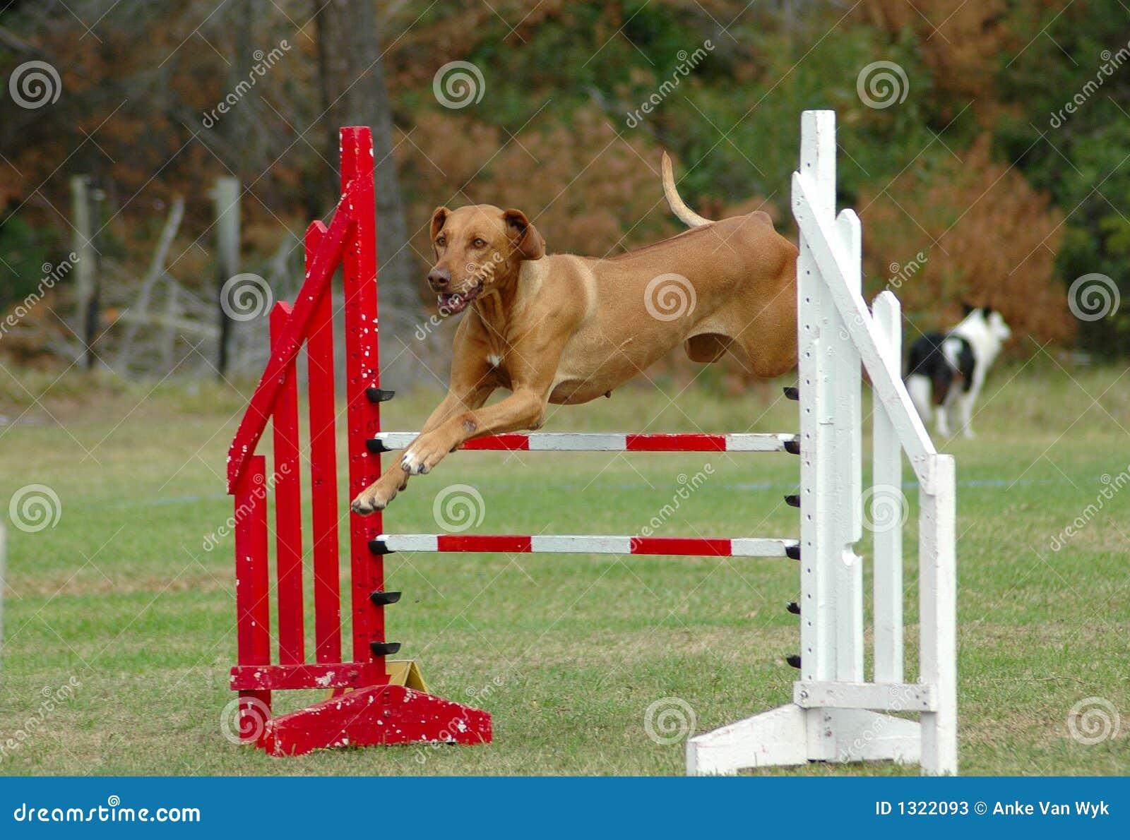 O cão que salta na agilidade