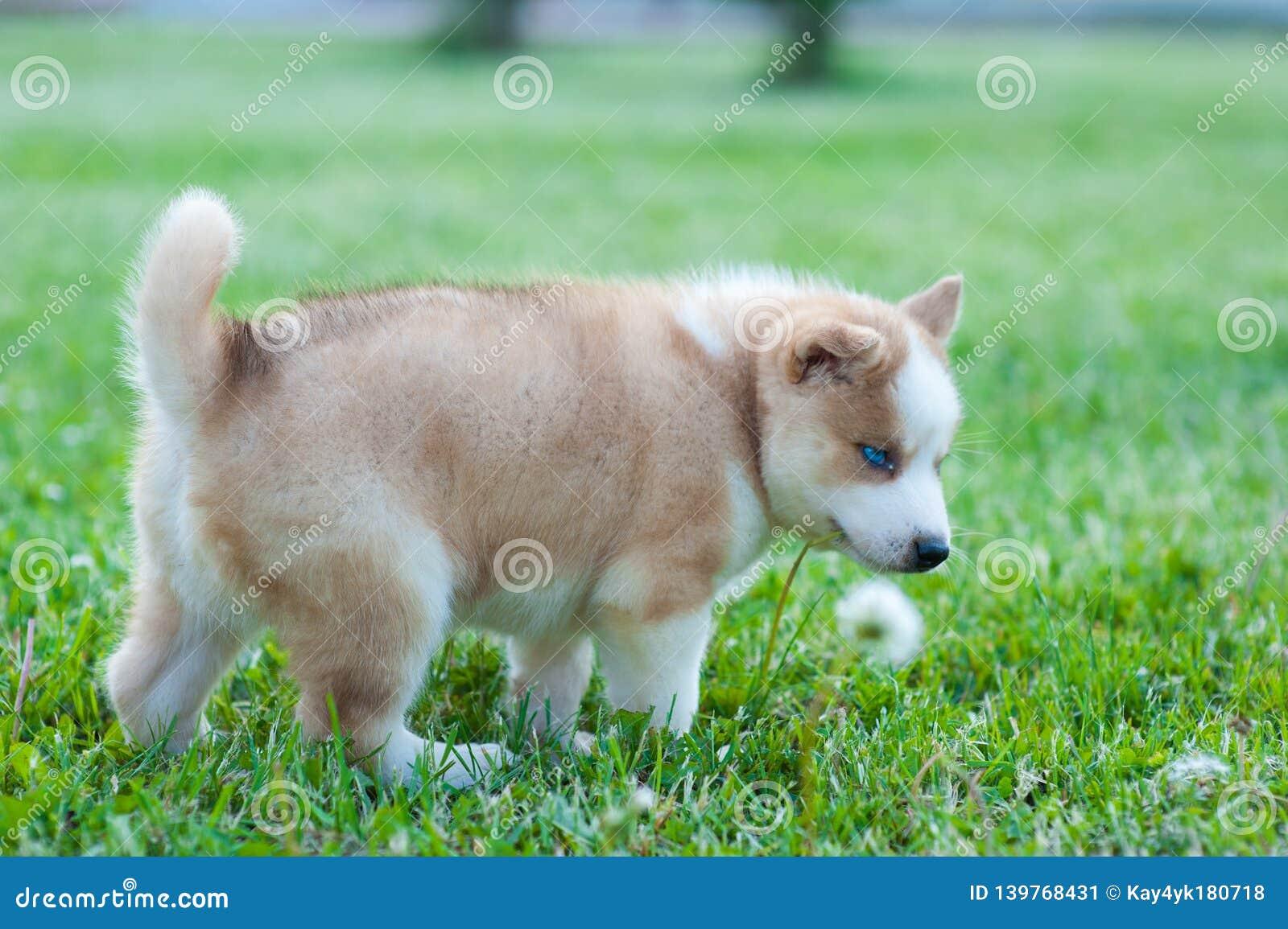 O cão ronco agarrou a grama verde com sua boca