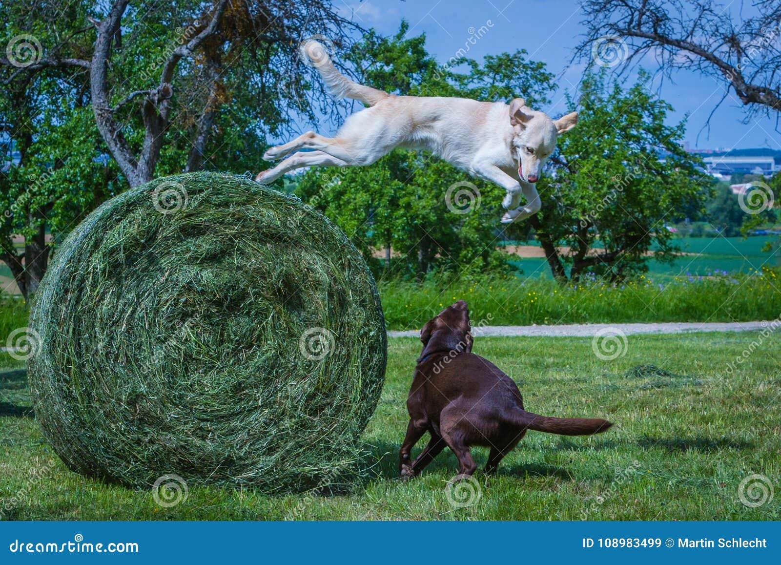 O cão salta hey de uma bola alta