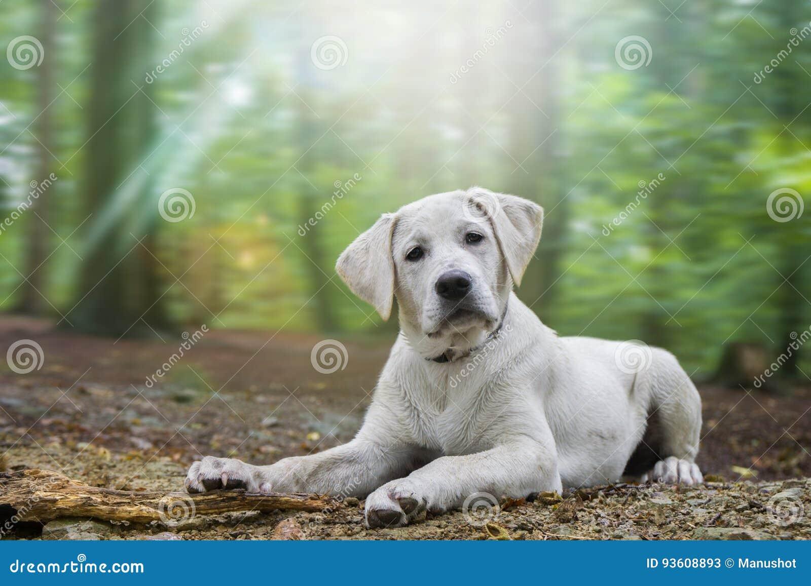 O cachorrinho branco bonito novo do cão de labrador retriever encontra-se com base na floresta
