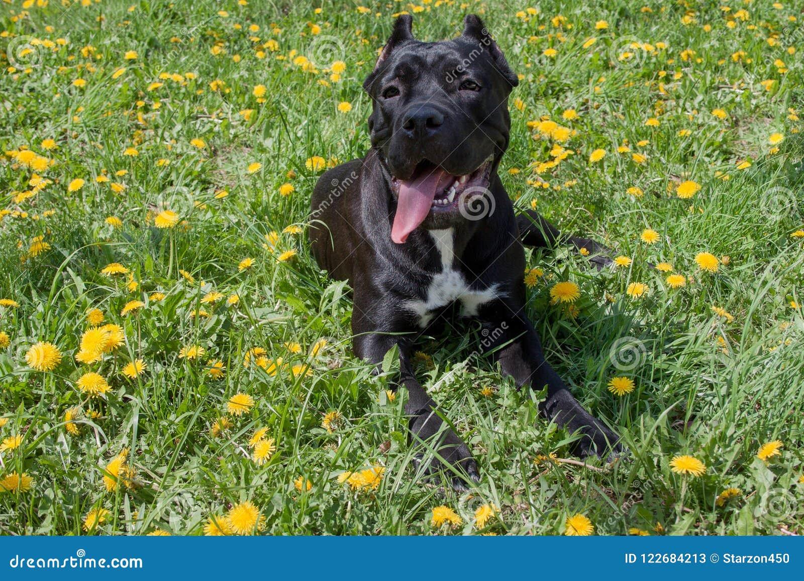 O cachorrinho do corso do bastão está encontrando-se em uma grama verde Italiano do corso do bastão ou mastim italiano Animais de