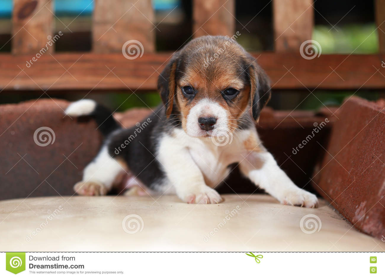 O cachorrinho do lebreiro senta-se e joga-se na cadeira de madeira