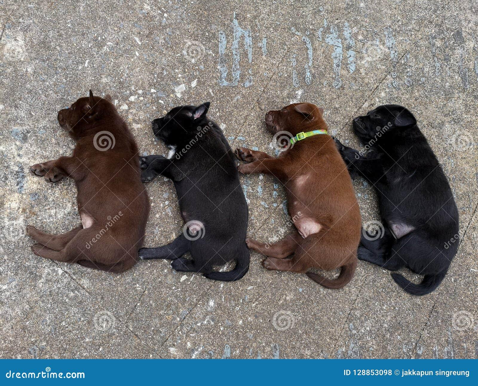 O cachorrinho quatro que encontra-se no assoalho do cimento