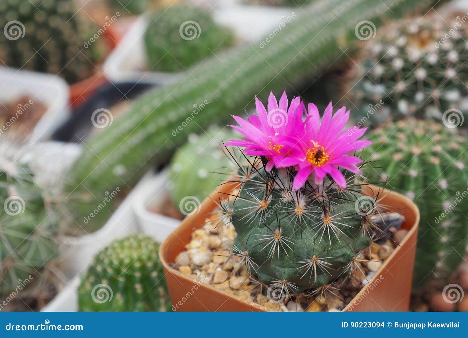 O cactaceae