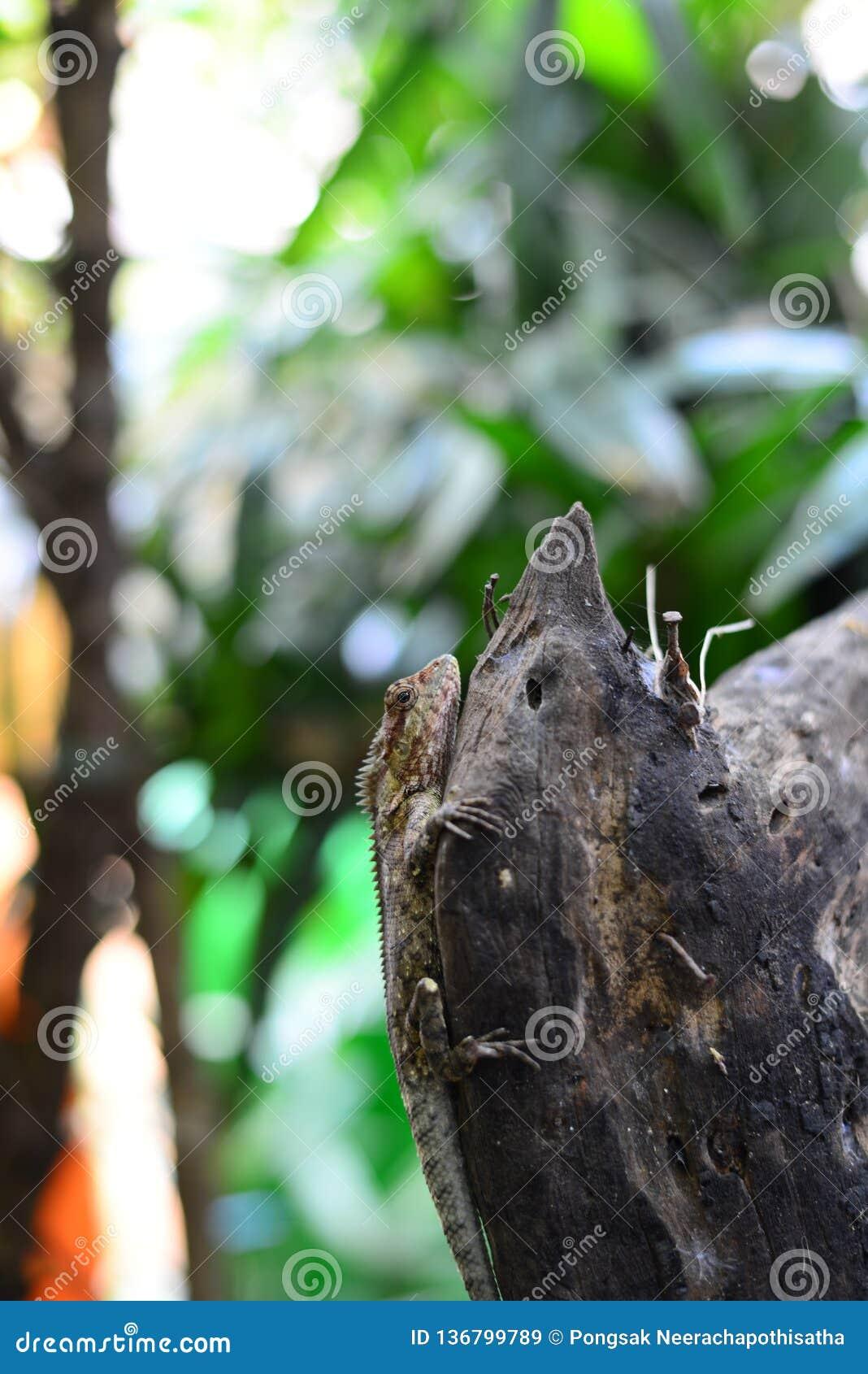O camaleão de Brown que descansa no log de madeira