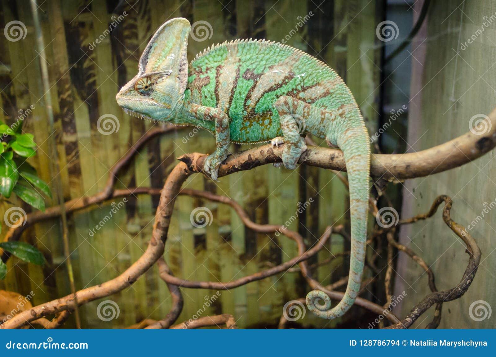 O camaleão listrado verde senta-se em um ramo