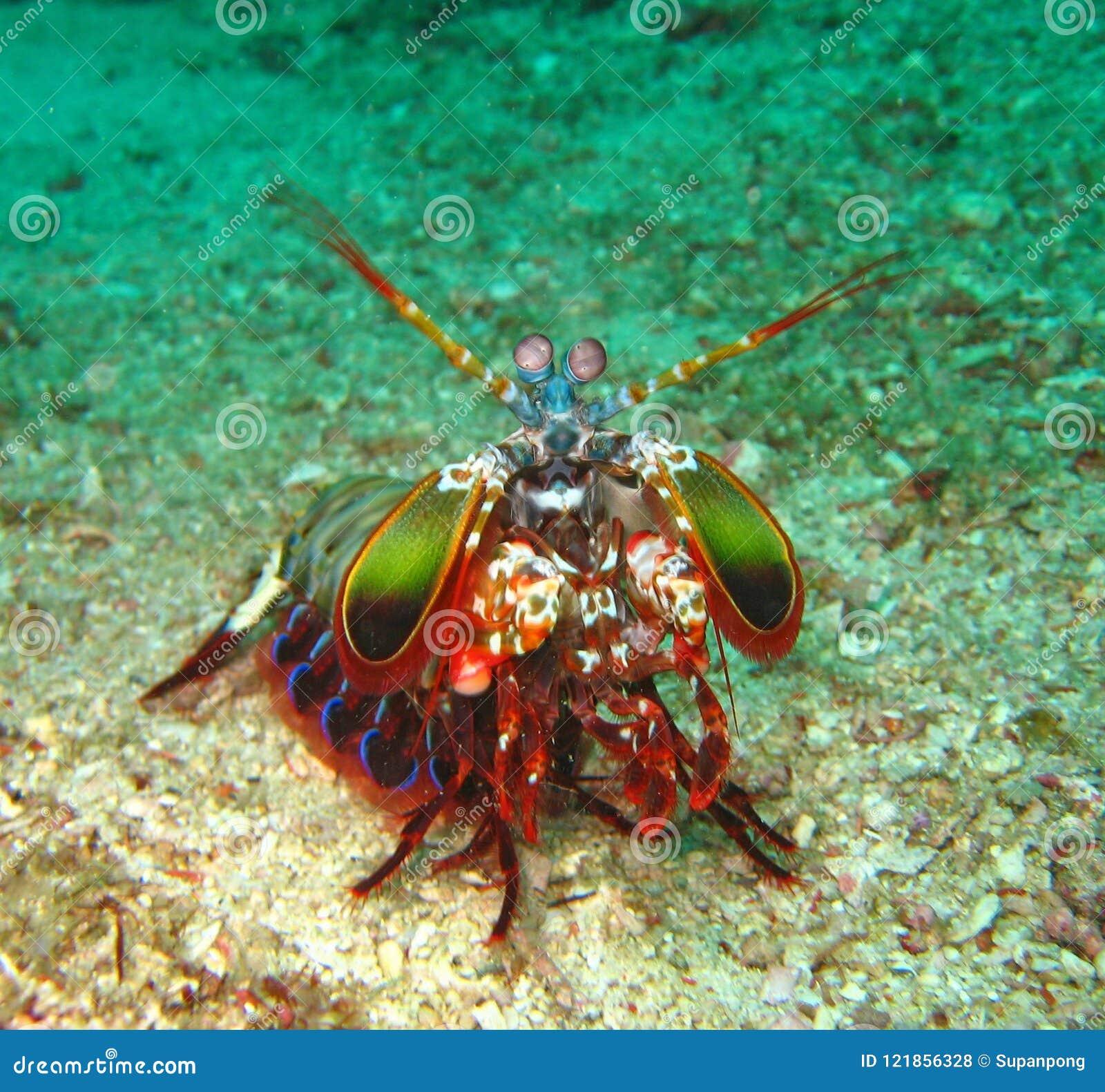 O camarão de louva-a-deus do pavão de Beautyful no fundo de Koh Lipe, Tailândia