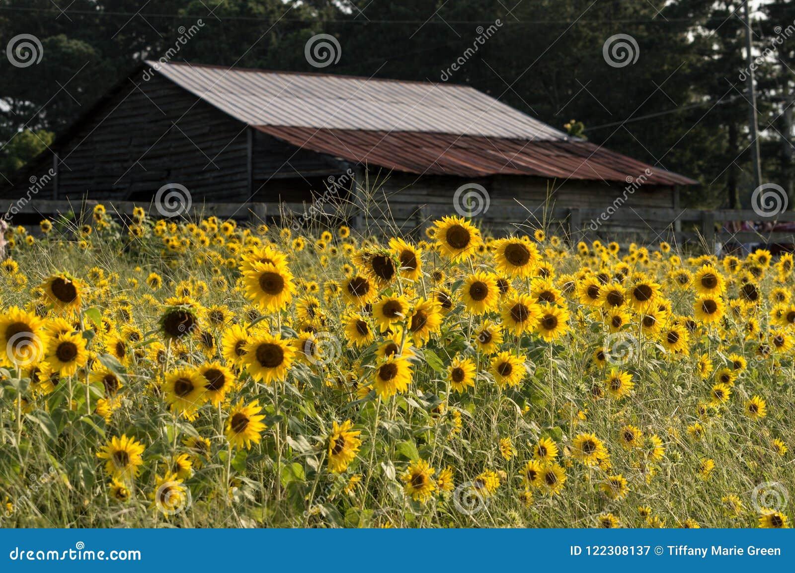 O campo bonito enchido com os girassóis