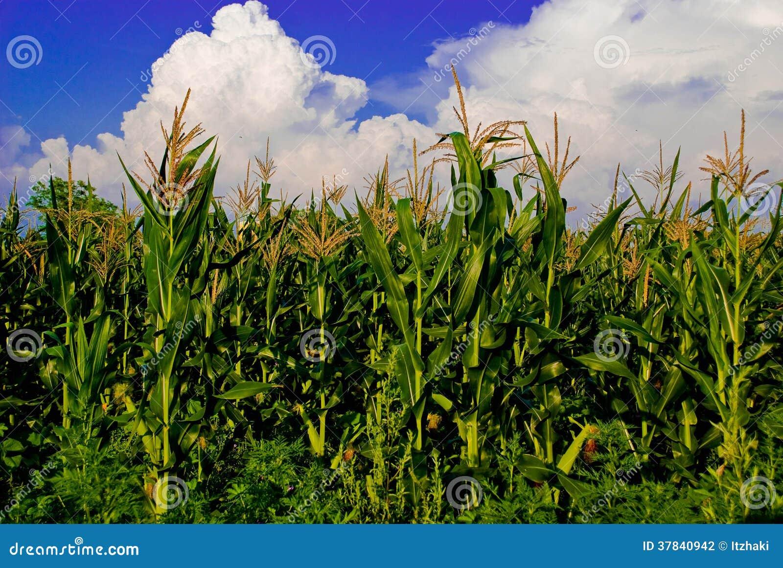 O campo de milho
