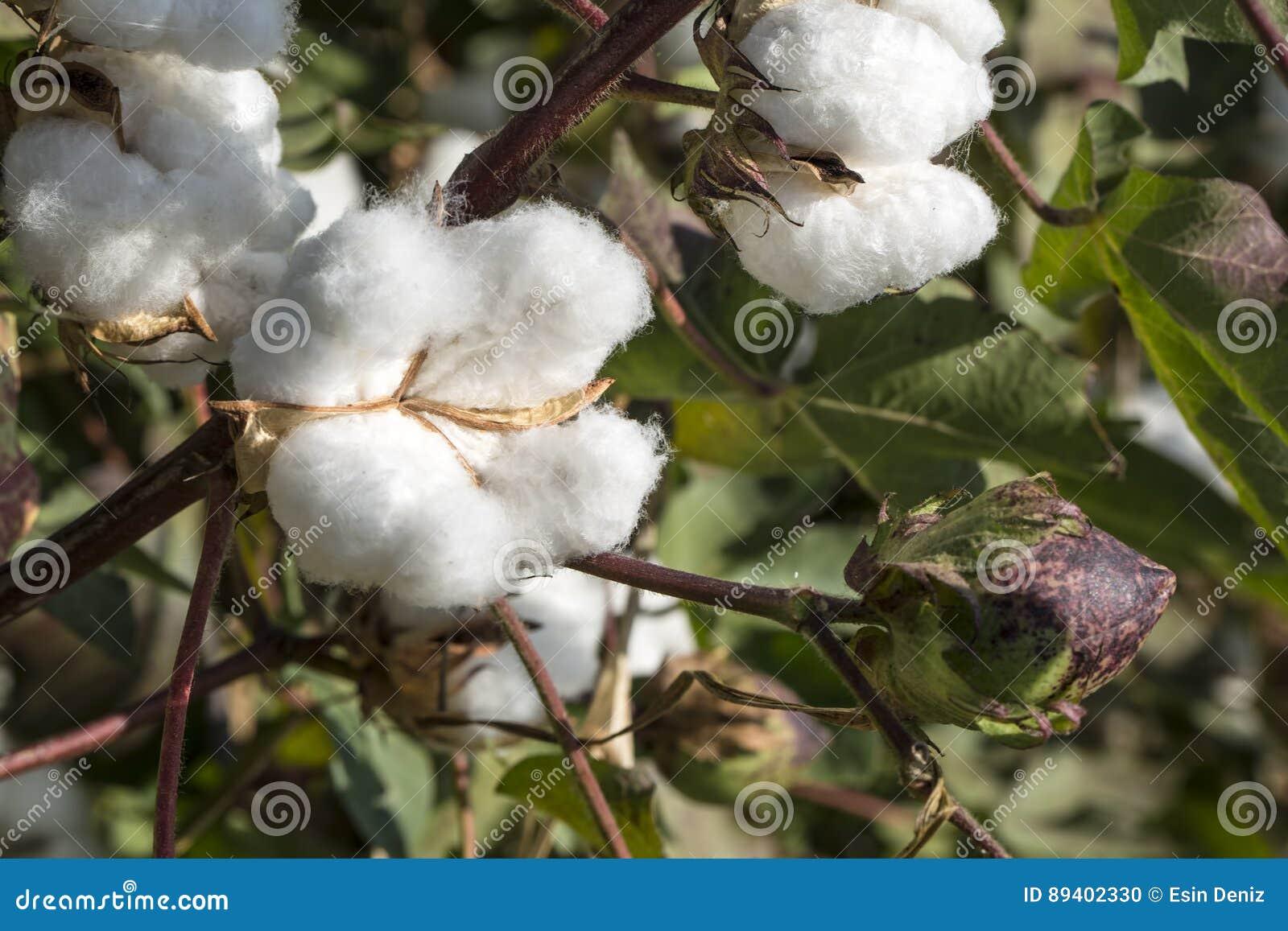 O campo do algodão