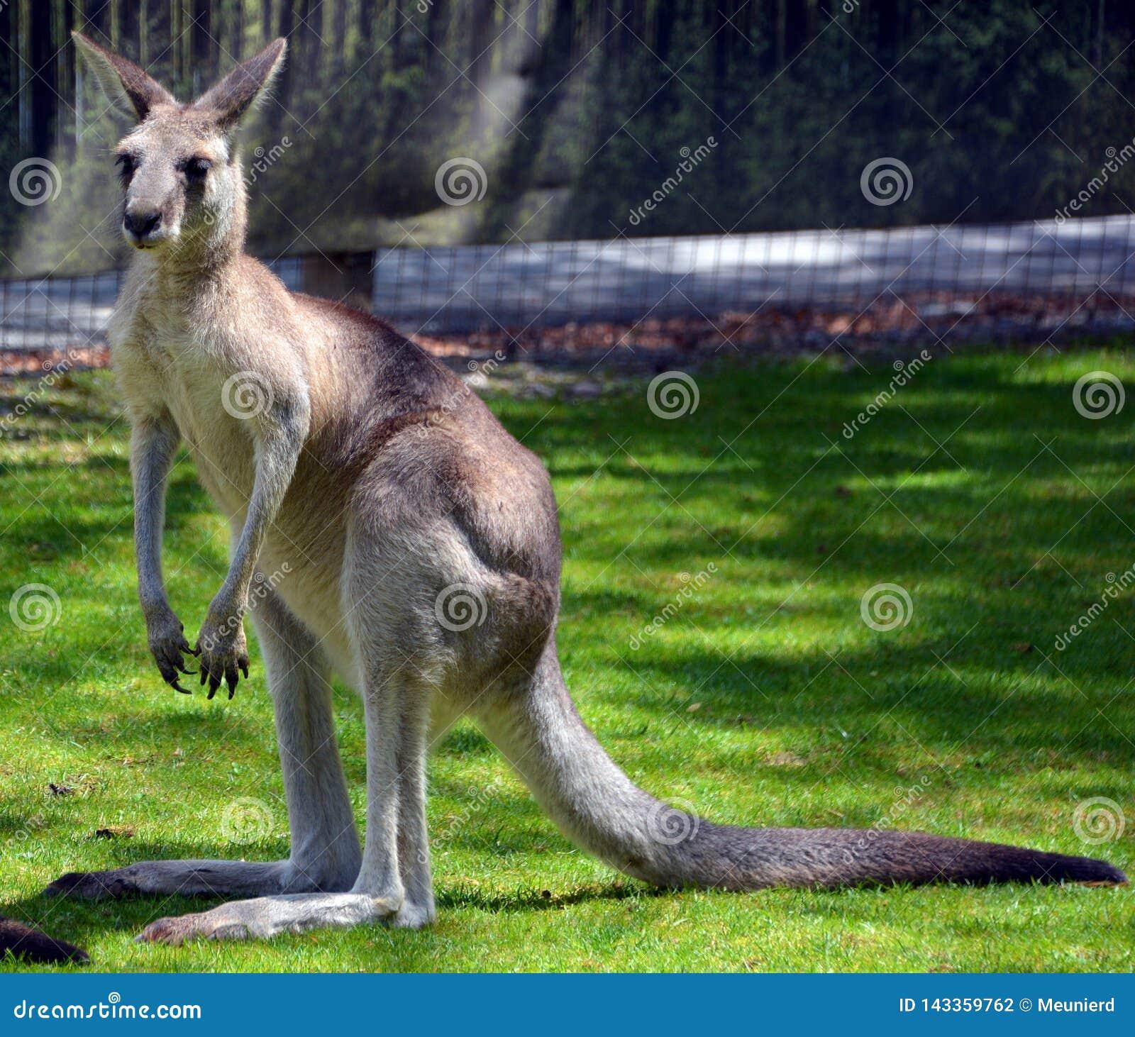 O canguru é um marsupial
