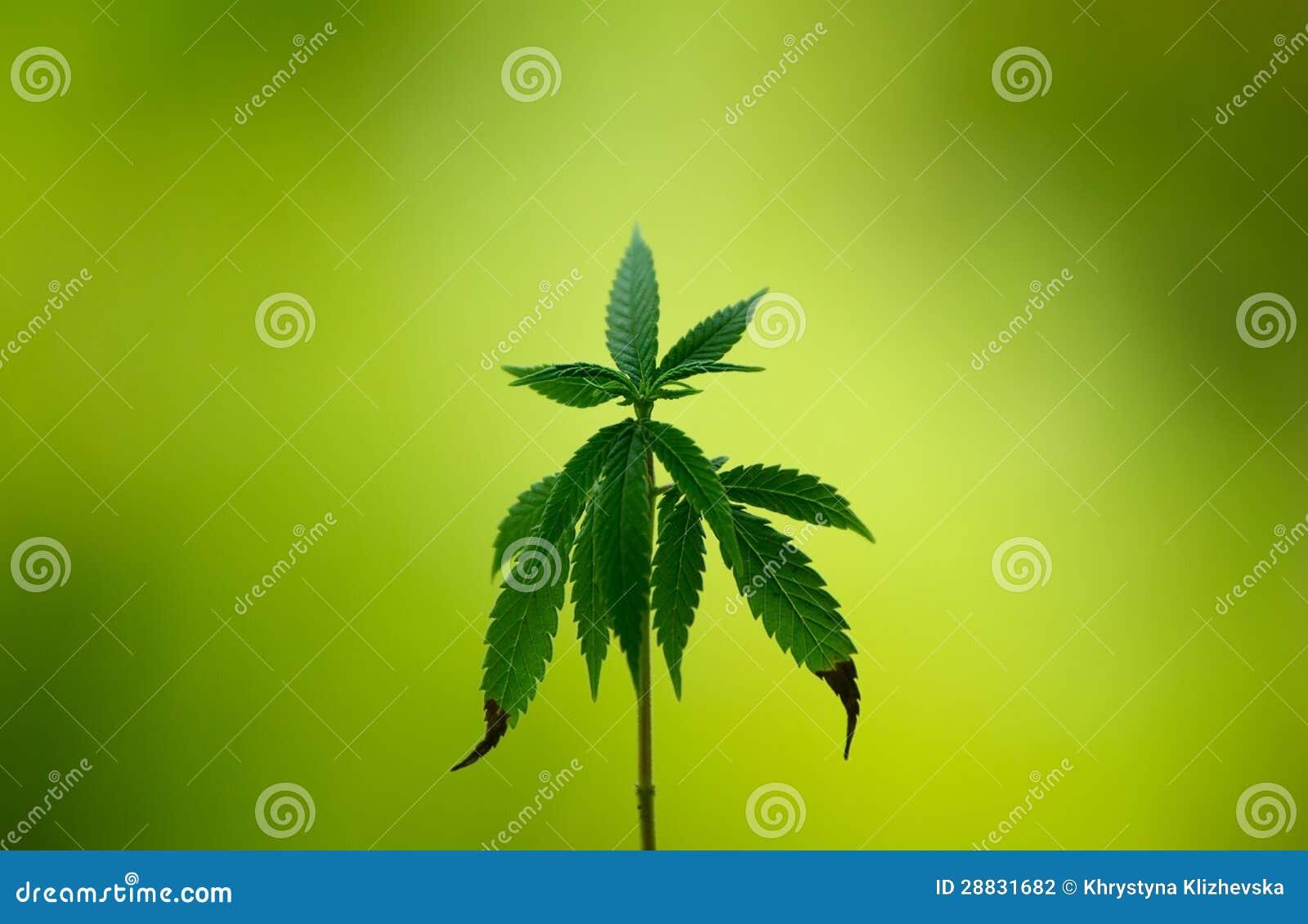 O cannabis planta o fundo