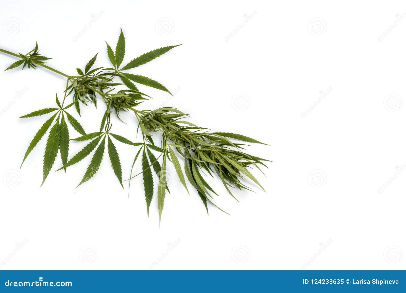 O cannabis verde do ramo com cinco dedos sae, isolador da marijuana