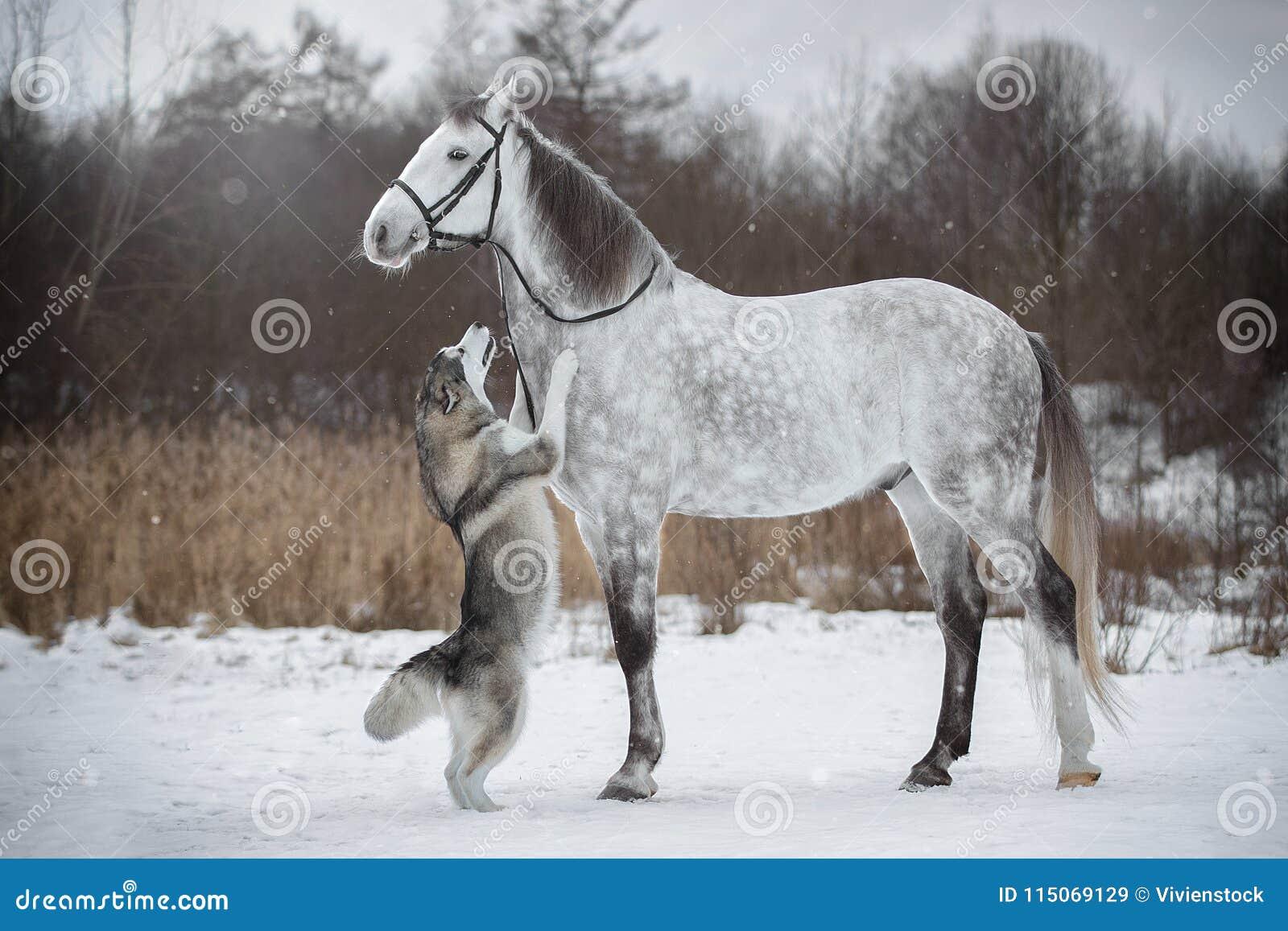 O cavalo conduz o cão pelo freio Trotador e Alaskan de Orlovskiy