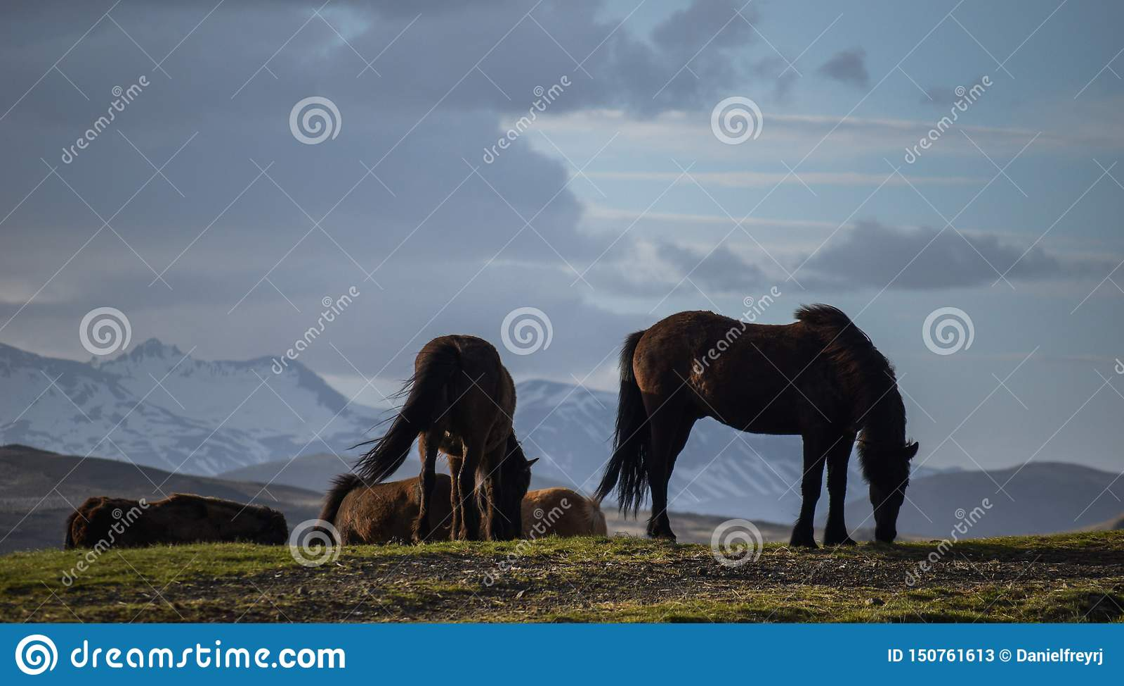 O cavalo icônico de Islândia