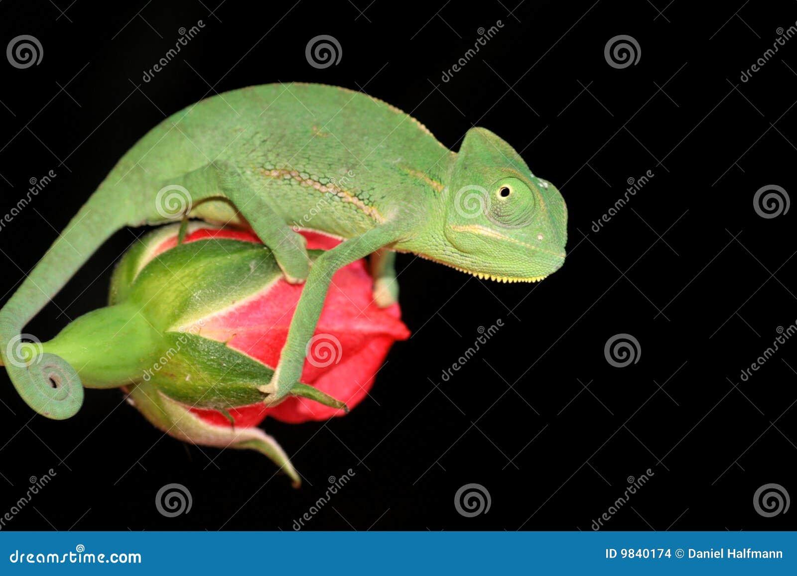O Chameleon e levantou-se