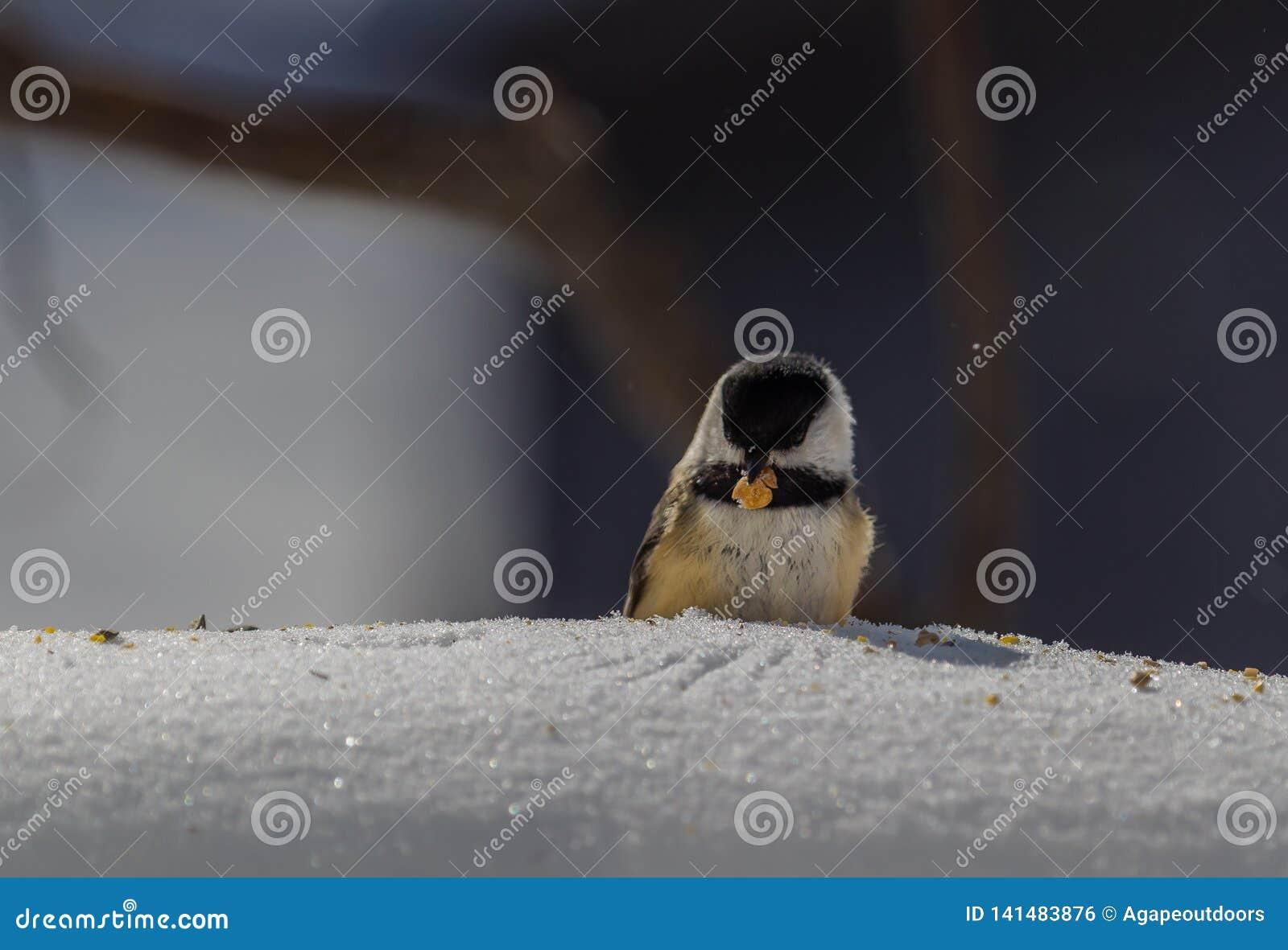 O chickadee preto-tampado inverno com ele é amendoim precioso