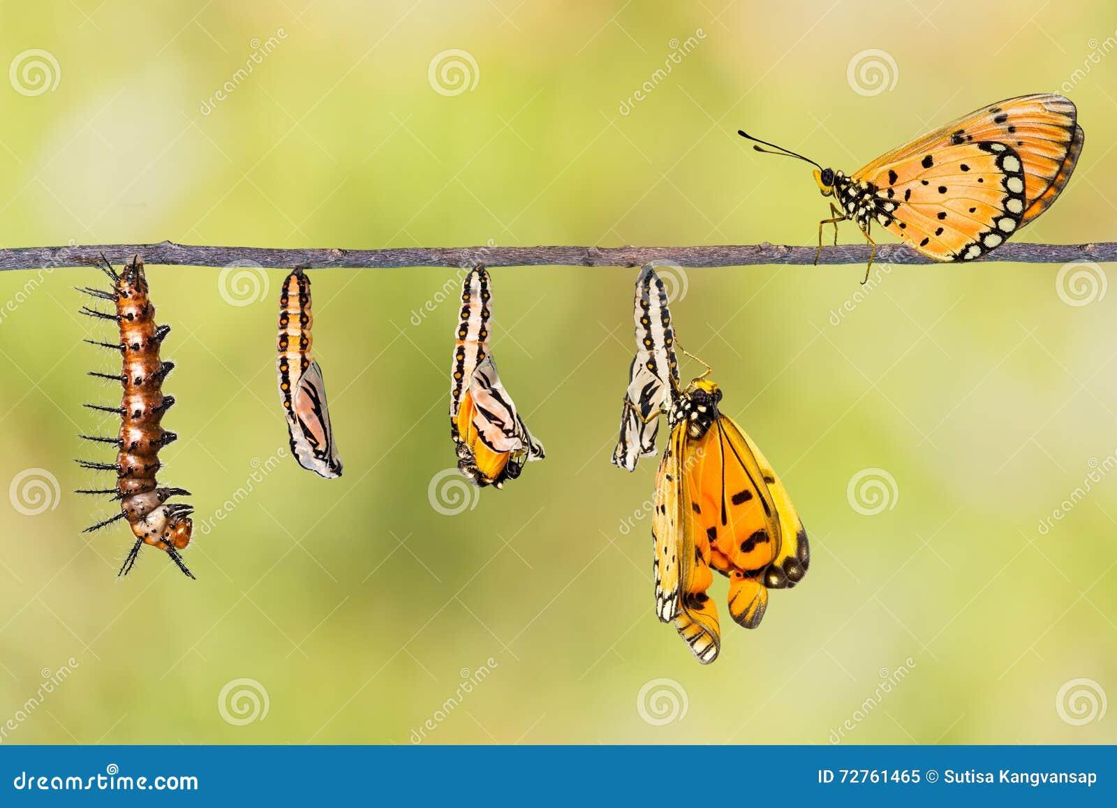 O ciclo de vida de Tawny Coster transforma da lagarta ao butterf