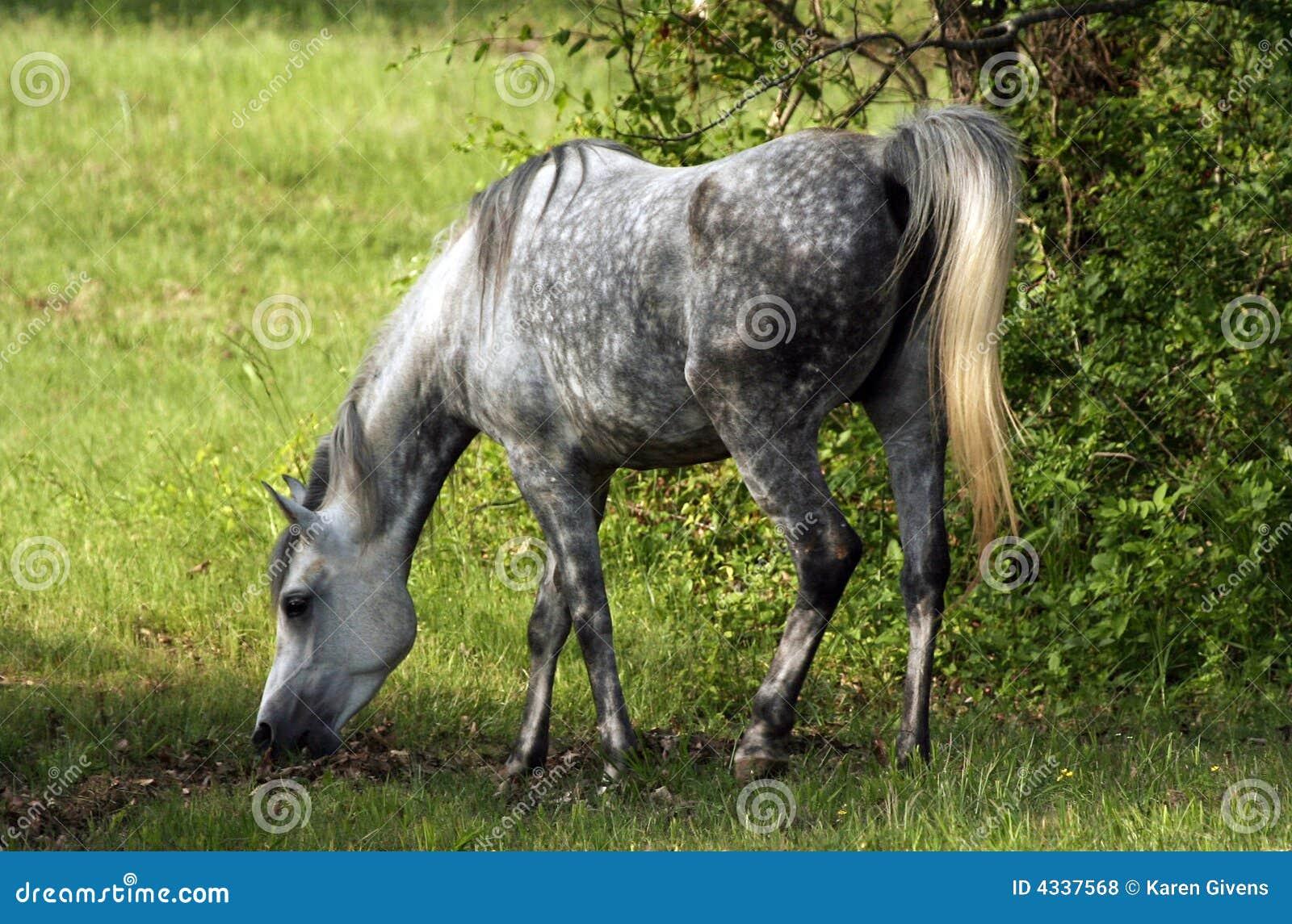 O cinza dapple a égua