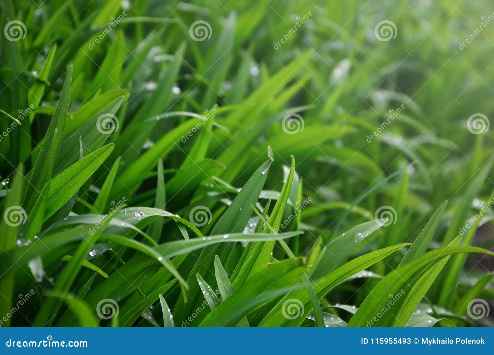 O close-up disparou de hastes gramíneas densas com gotas de orvalho Tiro macro da grama molhada como a imagem de fundo para o con