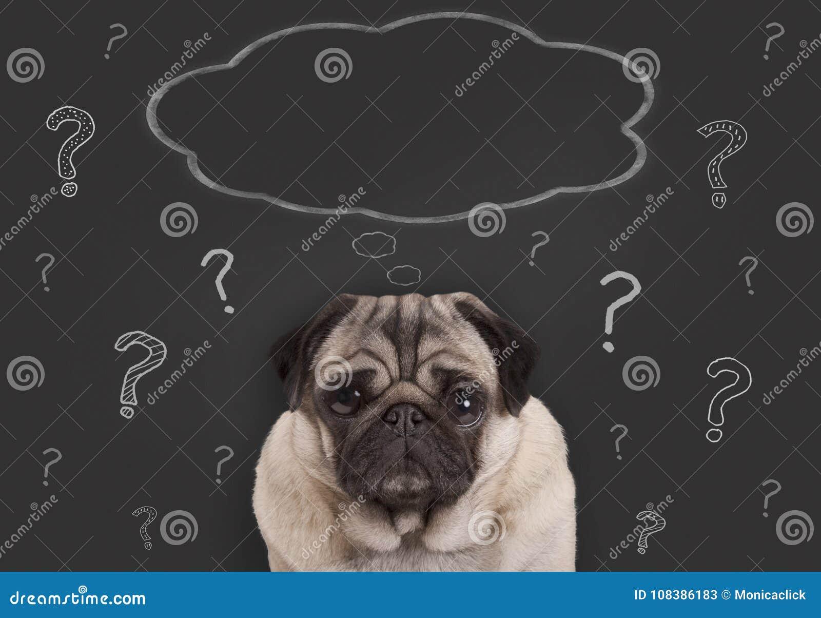 O close up do cão de cachorrinho do pug que senta-se na frente do sinal do quadro-negro com pontos de interrogação e o pensamento
