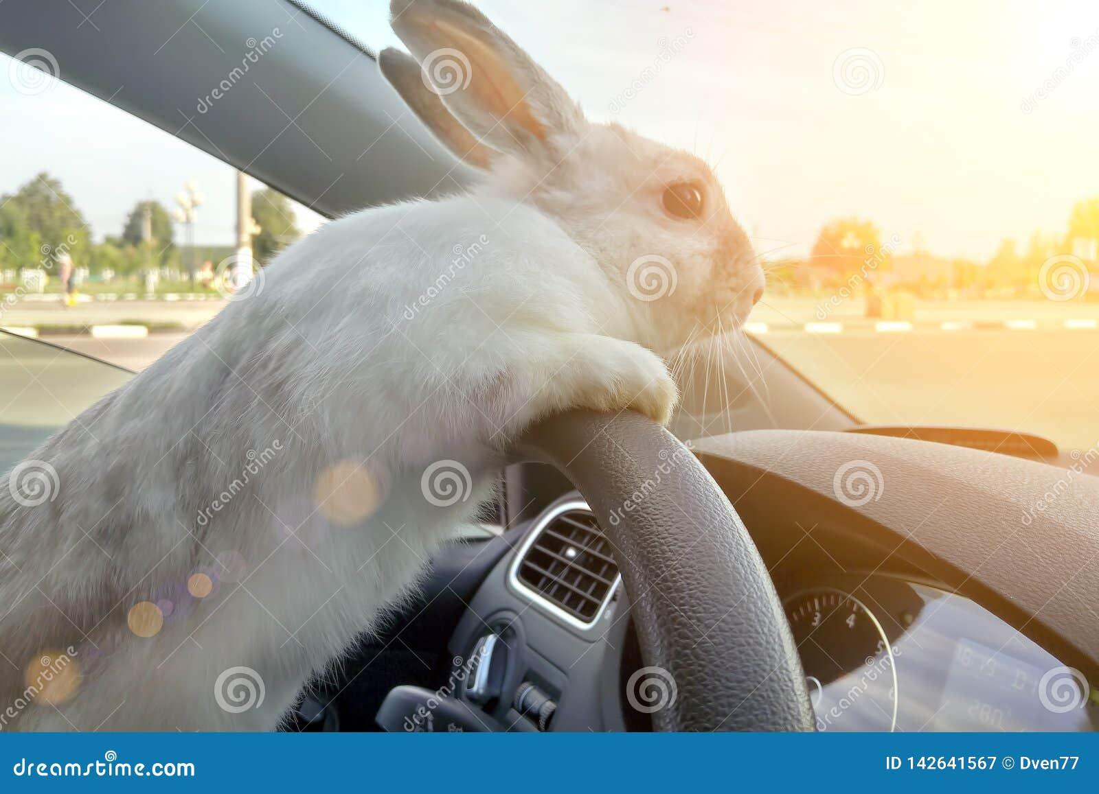 O coelho conduz um carro, ele está no banco do condutor atrás do volante Motorista da lebre Passeios brancos do coelhinho da Pásc