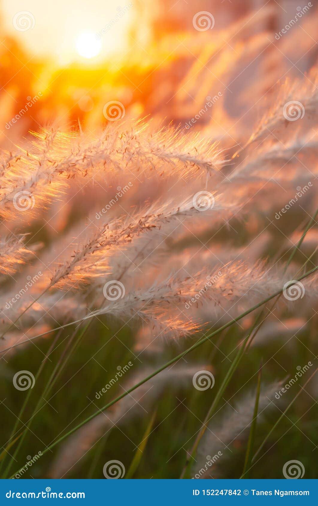 O cogon pitoresco grama flores no por do sol, cena da natureza no verão