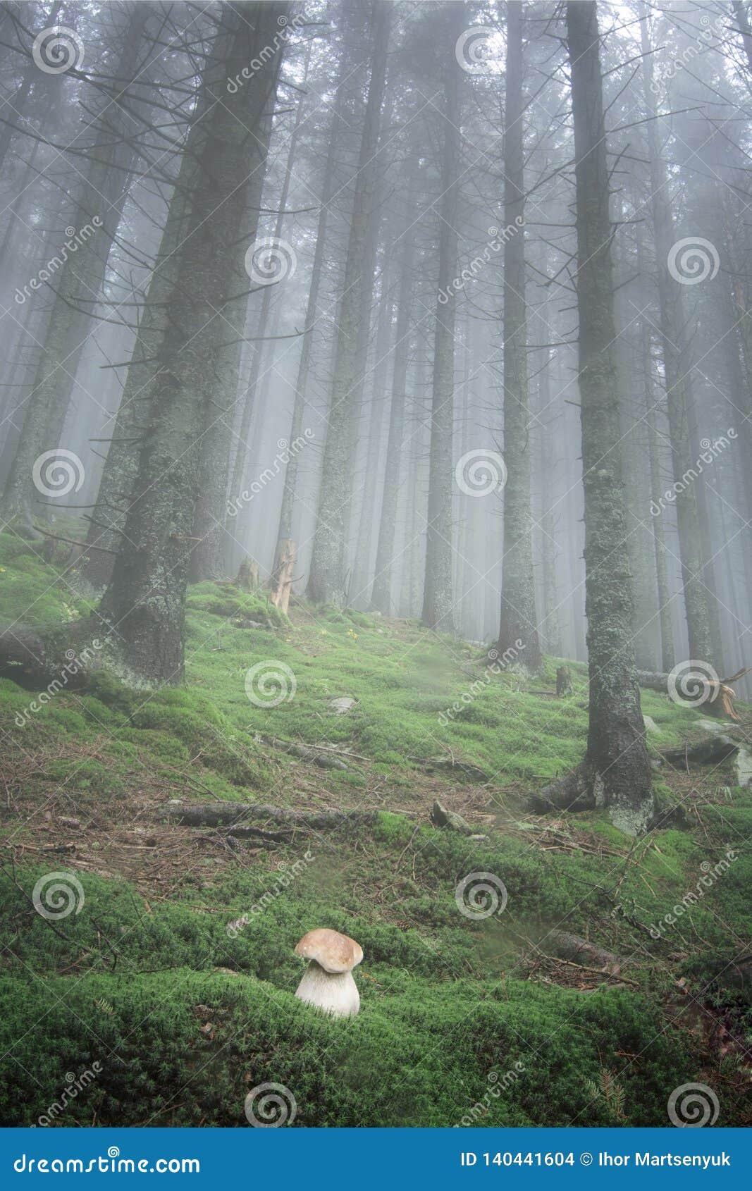 O cogumelo branco cresce na floresta que do abeto o tempo é muito nevoento